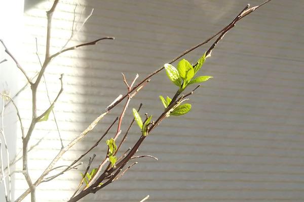 エゴノキの新芽
