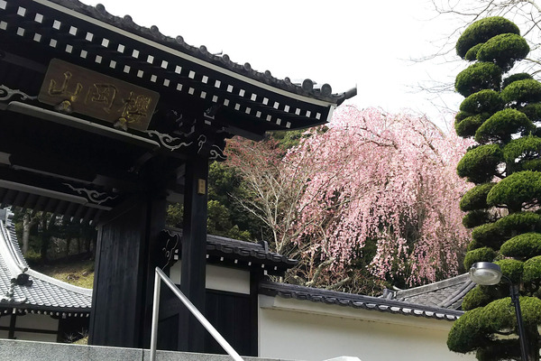 玉澤の桜2017-3
