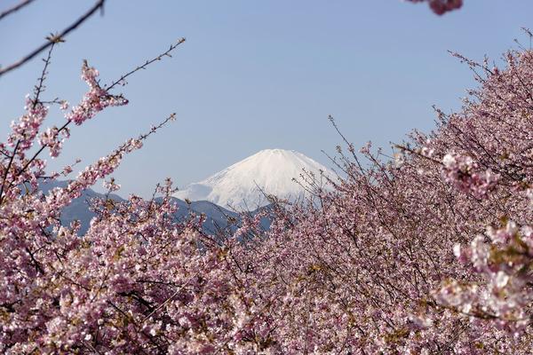 松田山の河津桜2017