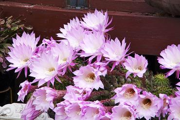 サボテンの花2012-2