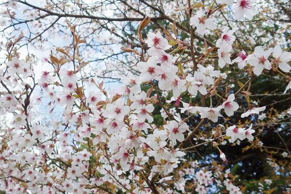 富士桜2016