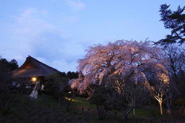 秩父宮記念公園の桜3