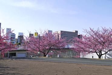河津桜2015-2