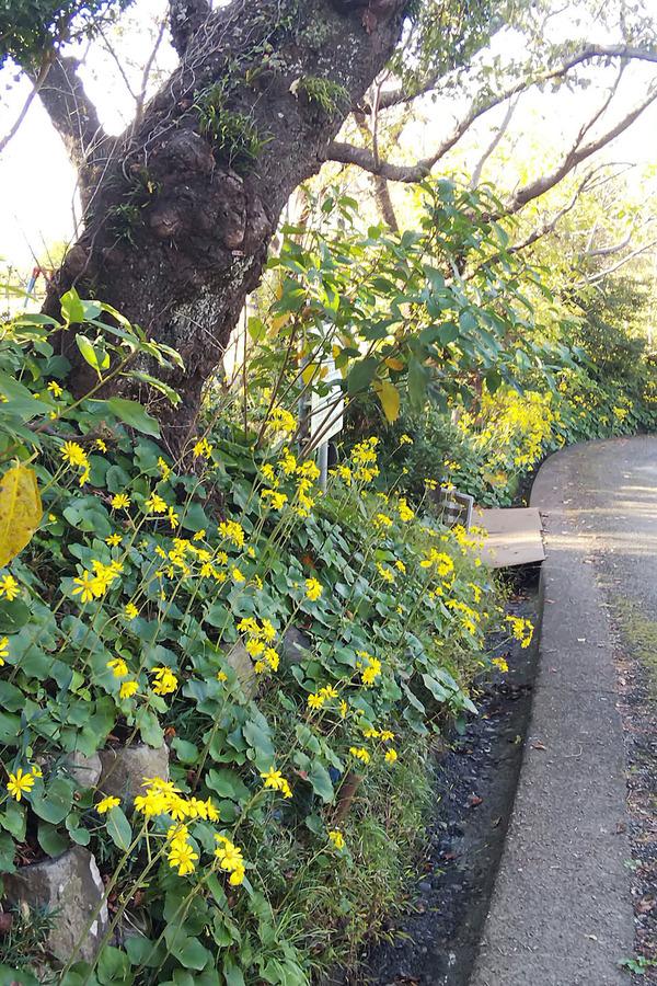 ツワブキの花1