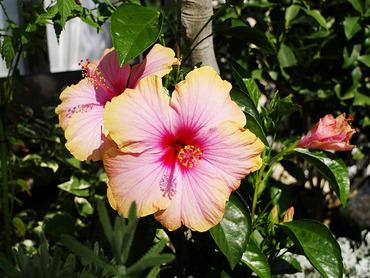 hibiscus2010-2