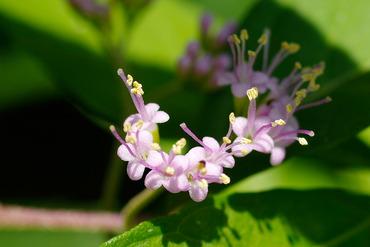 ムラサキシキブの花2014-1