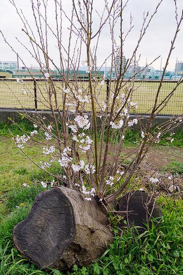 市営球場の桜2