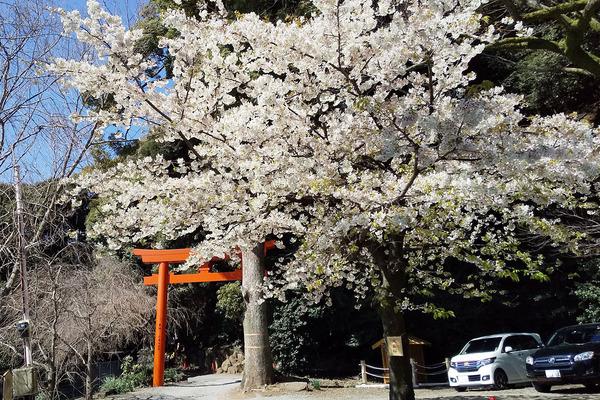 伊豆山神社の桜2019-1