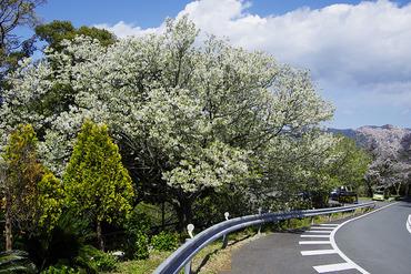 西伊豆 桜2012