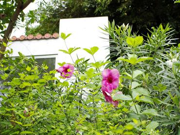 沖縄の花2