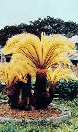 写真:黄金色の花が開いたソテツの木
