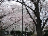 鮫洲公園桜