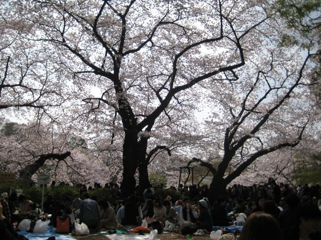 井の頭桜1