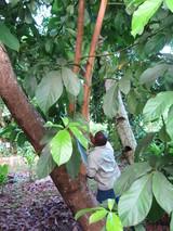 椰子の実取り