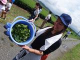 お茶つみ体験-南九州市頴娃町3