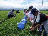 お茶つみ体験-南九州市頴娃町1