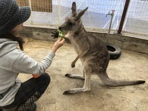 kangaru