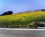 十文字の菜の花畑