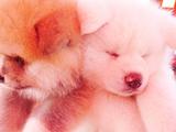 ぐっすり寝ている秋田犬の赤ちゃん