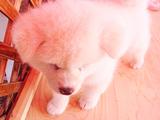 雪のように真っ白でフワフワの秋田犬の赤ちゃん