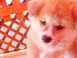 歩くかわいい秋田犬の赤ちゃん
