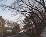 お城山の桜