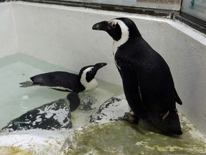 ★ケープペンギンs