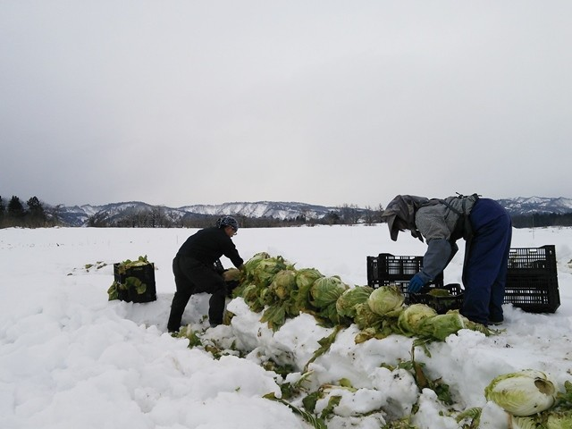 雪下白菜の収穫作業