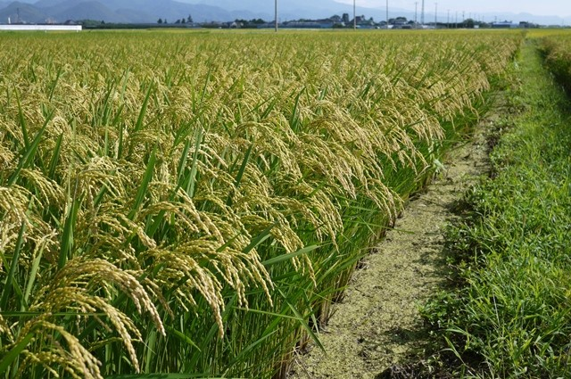 山形95号の稲
