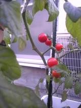 基地のトマト-1