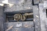 ヘビが出た