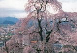 烏帽子山桜