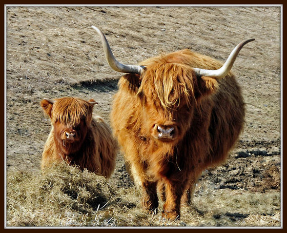 highland-bull-and-calf_l
