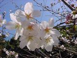 咲き始め桜