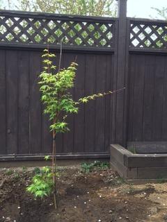植樹メープル
