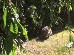 Raccoon_Jun2019