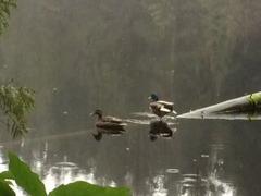 mundy lake goose