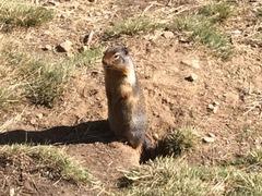 Columiba Ground Squirrel
