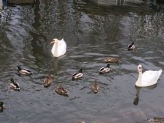 Swan Pitt River