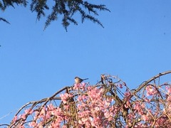 Small bird on Sakura