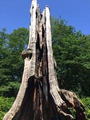 Stanley Big Tree