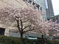 Downtown桜