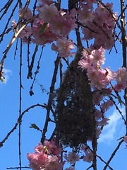 Nest on Sakura