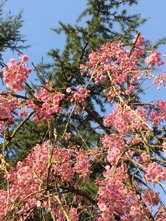 しだれ桜と針葉樹