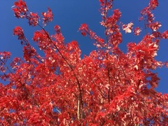 Red Leaves_Lafarge