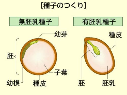 有胚乳種子