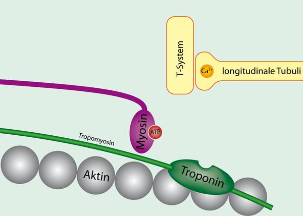 Tropomyosin_bound_to_actin