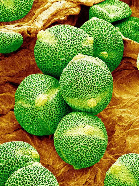 pollen5