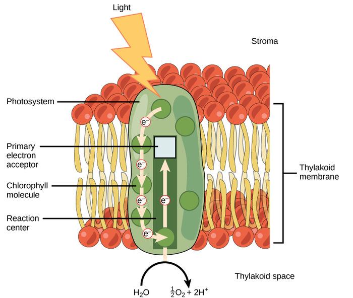 光化学系Ⅱ