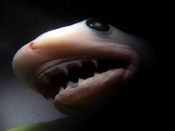 イタチザメ